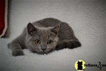 british shorthair kitten posted by nevostrushka