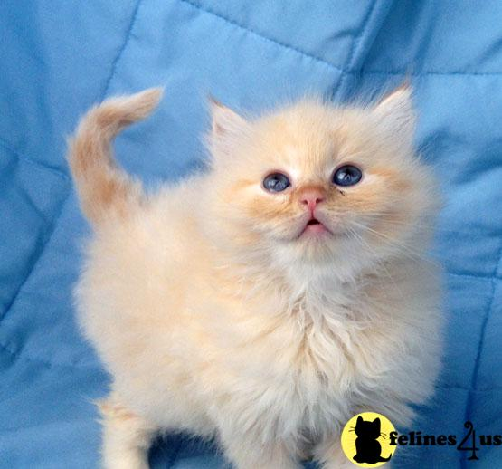 Kittens for Sale in Tennessee