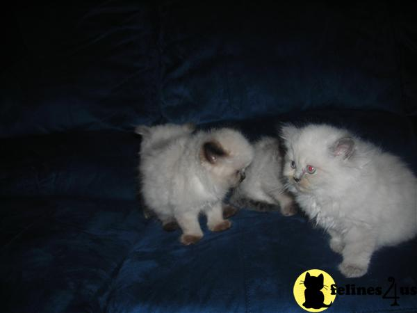Himalayan Kittens in Tennessee