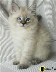 siberian kitten posted by KathyWade