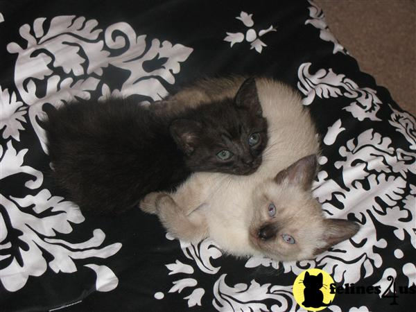 Kittens for Sale in Texas