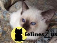 siamese kitten posted by kittenluv