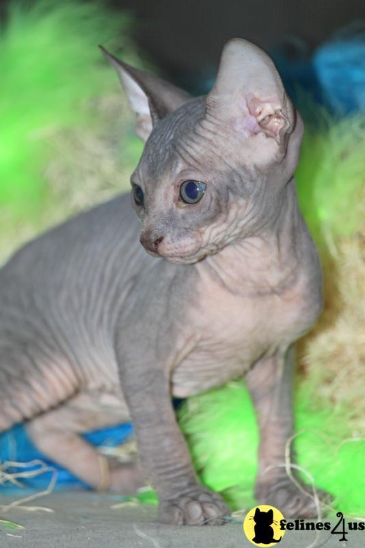 TAMPA, FL USA, Sphynx Kittens