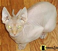 sphynx cat posted by desireeduncan