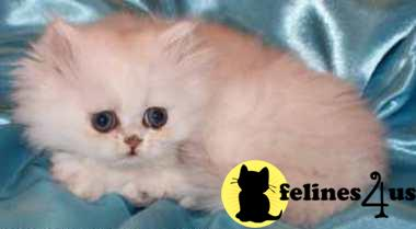 Kittens for Sale in Nebraska