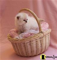 himalayan kitten posted by Zimmra24