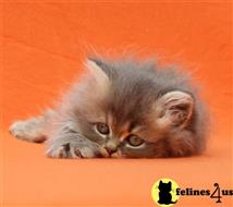 persian kitten posted by Zimmra24