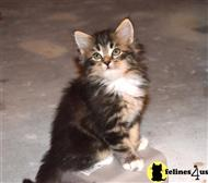 siberian kitten posted by nightmusic