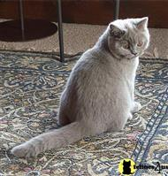 british shorthair cat posted by moonstruck
