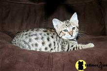 savannah kitten posted by mariahric