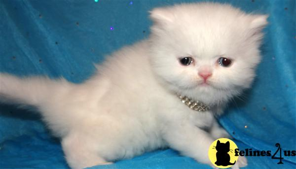Kittens for Sale in Illinois