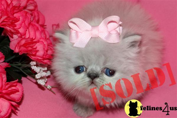 Himalayan Cats For Sale In Chicago
