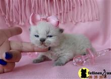 Persian kittens for sale in chicago
