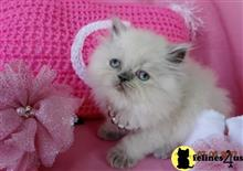 himalayan kitten posted by tropicats7