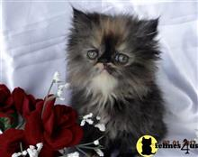 persian kitten posted by tropicats7