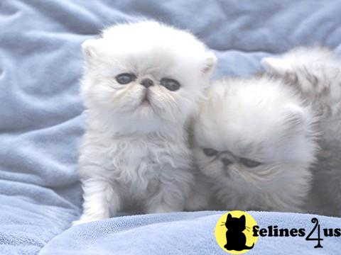 Persian Kittens in Michigan