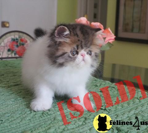 Pure Persian brown tabby and white Persian Kitten SOLD