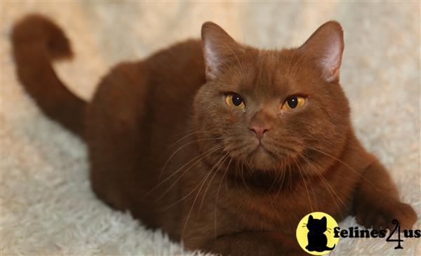 British shorthair cat cinnamon for sale
