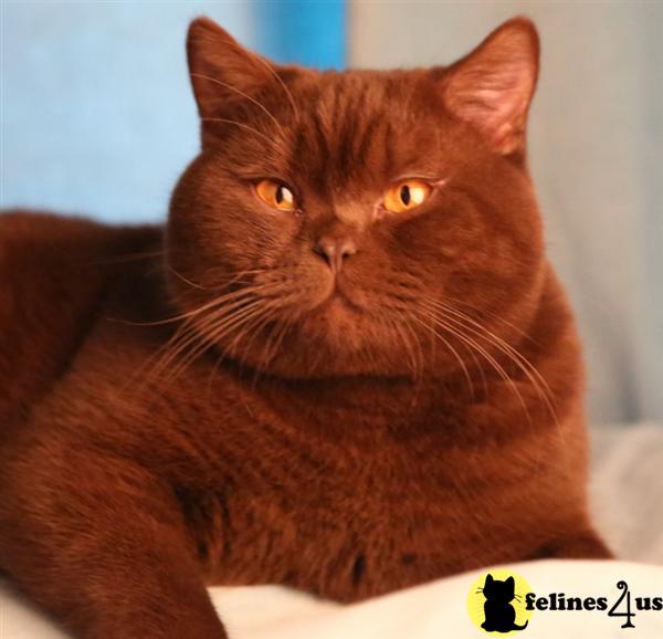 British Shorthair Stud Cat Britishroyalcat David King
