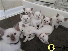 siamese kitten posted by hobaucom