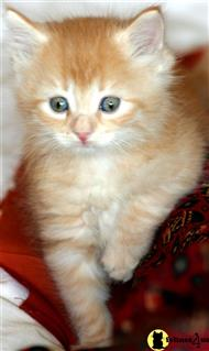 siberian kitten posted by Raduga