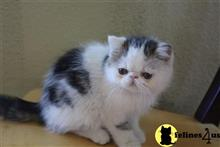 exotic shorthair kitten posted by sunny1