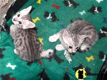 egyptian mau kitten posted by jsmith761