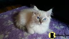 ragdoll cat posted by jsmith761