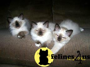 Adorable Seal Point Birman Kittens
