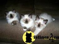 birman kitten posted by Cyndee Myers