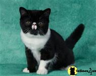 exotic shorthair kitten posted by dorothydaniels