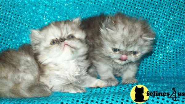 black smoke persian kittens for sale