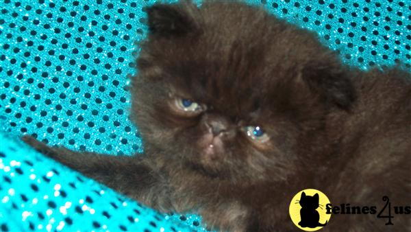 black persian kittens for sale
