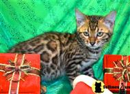 bengal kitten posted by TrinityBengals