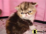 exotic shorthair kitten posted by Tuffoldbag