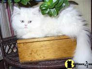 persian stud posted by qtbettyboop
