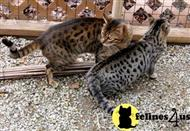 savannah cat posted by fvand5771
