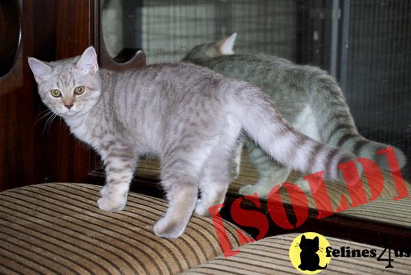British shorthair female blue tortie smoke available