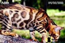 bengal kitten posted by WFSbengals