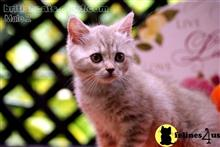 british shorthair kitten posted by WFSbengals