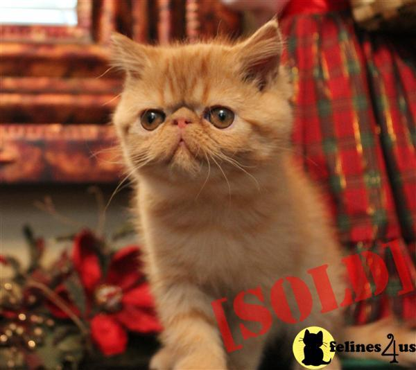 Beautiful Exotic Shorthair Kittens
