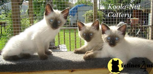 Siamese Kittens in Louisiana