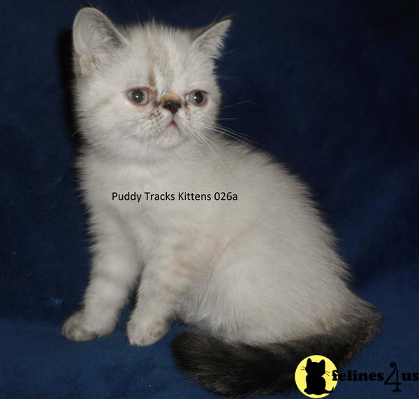 Exotic Shorthair Kittens in Florida