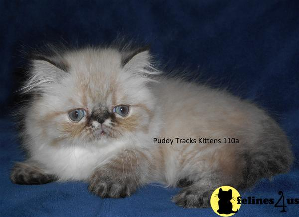 Himalayan Kittens in Florida