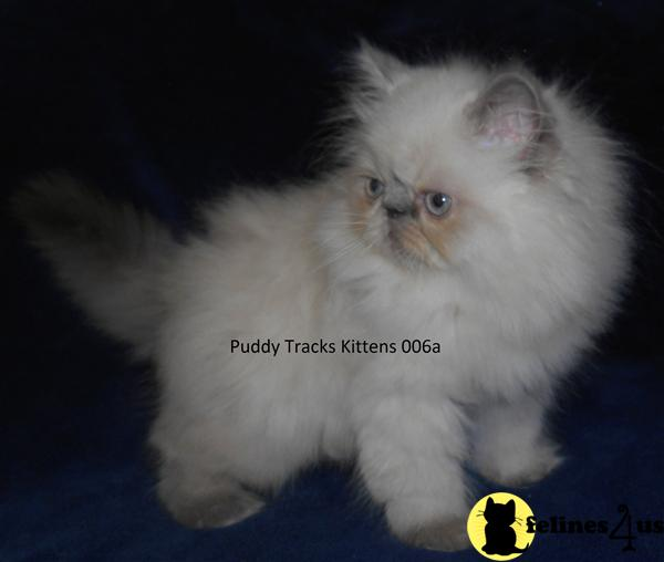 Kittens for Sale in Florida