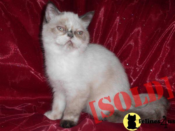 TORTIE POINT EXOTIC SHORT HAIR FEMALE KITTEN