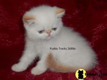 exotic shorthair kitten posted by Puddy Tracks