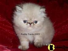 himalayan kitten posted by Puddy Tracks