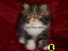 persian kitten posted by Puddy Tracks