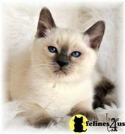 siamese kitten posted by tresorcats